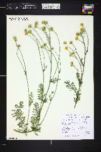 Image of Pyrethrum pyrethroides