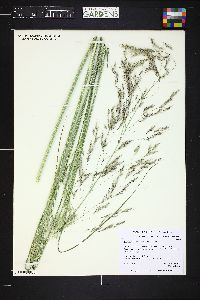 Image of Achnatherum splendens