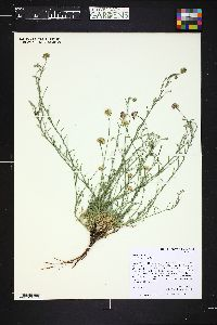 Image of Erigeron acris