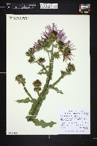 Image of Berkheya purpurea