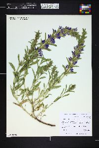 Image of Lallemantia canescens