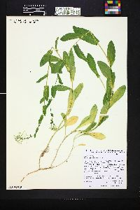 Image of Lepidium chalepensis