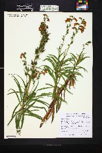 Image of Digitalis obscura