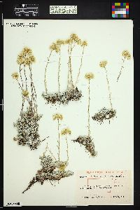 Image of Antennaria formosa