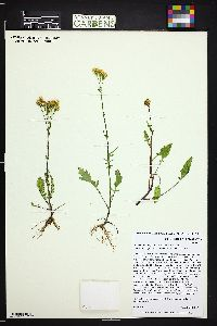 Packera debilis image