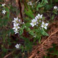 Gentianella microcalyx image