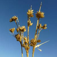 Image of Juncus cooperi