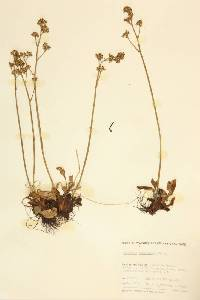 Micranthes occidentalis image