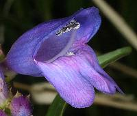 Penstemon strictus image