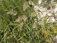 Image of Calamagrostis scopulorum