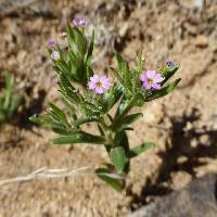 Image of Phlox gracilis