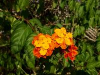 Image of Lantana horrida