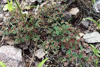Image of Euphorbia anychioides