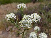 Image of Lepidium thurberi