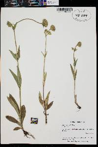 Arnica parryi image