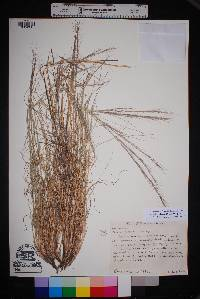 Aristida purpurea var. nealleyi image