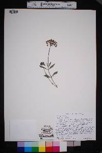 Image of Asclepias scaposa