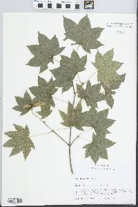 Image of Acer ceriferum