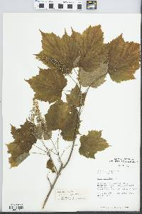 Image of Acer spicatum