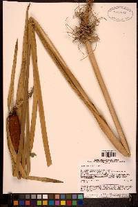 Image of Typha orientalis