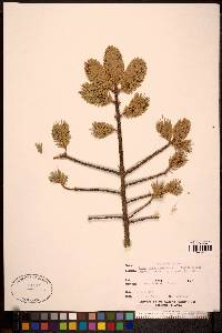 Picea sitchensis image