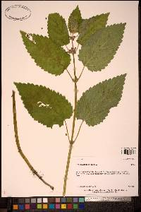 Stachys emersonii image