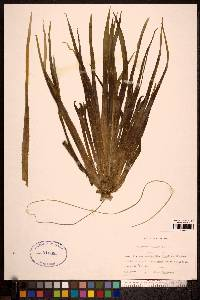 Stratiotes aloides image