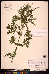 Image of Urtica cannabina
