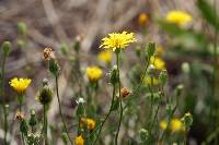 Image of Crepis capillaris