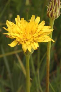 Image of Agoseris monticola