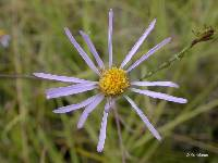 Image of Aster occidentalis
