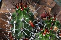 Image of Echinocereus triglochidiatus