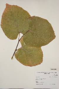 Image of Tilia x vulgaris