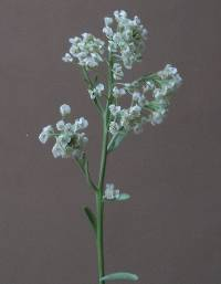 Image of Lepidium montanum
