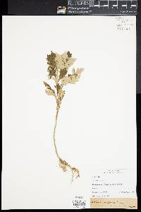 Image of Artemisia integrifolia