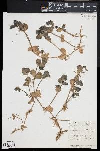 Bacopa rotundifolia image