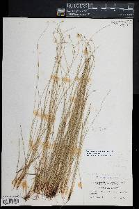 Eleocharis palustris image
