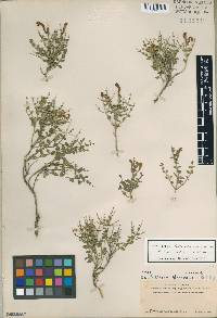 Image of Scutellaria spinescens