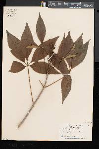 Aesculus glabra image