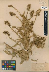 Image of Solidago confinis