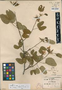 Image of Bauhinia macranthera