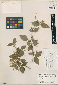 Image of Acalypha subscandens