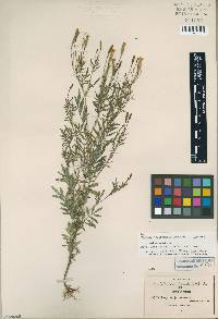 Image of Tagetes jaliscensis