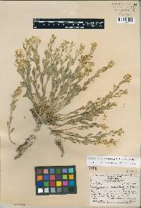 Image of Thelypodium suffrutescens