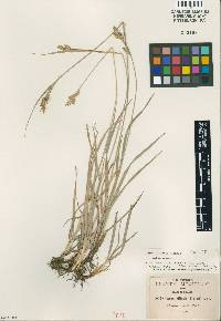 Image of Carex ciliaris