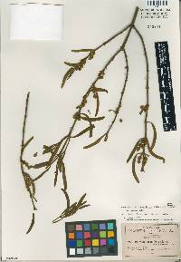 Image of Phoradendron forestierae