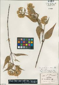 Image of Ageratina photina