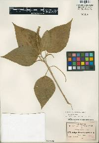 Image of Acalypha flavescens