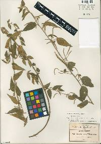 Image of Acalypha dioica