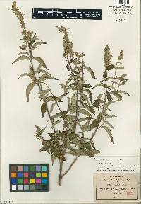 Image of Salvia connivens